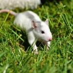 Rata de Cáncer