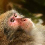 El mono del horóscopo chino y los 5 elementos